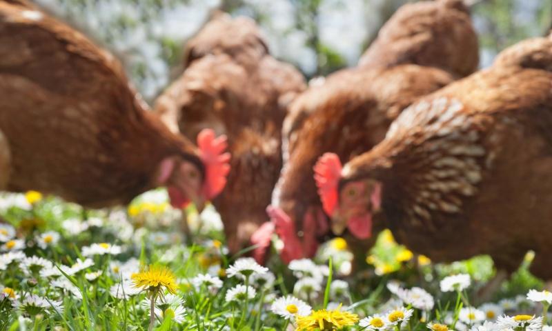 galline allevamento biologico